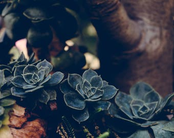 Earthy Succulent Plant Photograph Print 4x6, 4x4, 5x7, 8x8, 8x10, 11x14, 12x12, 16x20 , 20x30