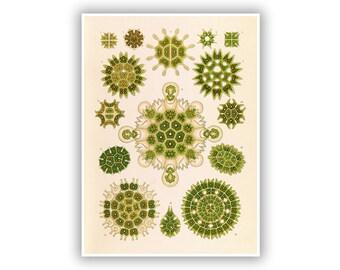 Ernst Haeckel Biology Print, Green Algae Scientific Illustration Art, Pediastrum Anatomy, Life, Botany, Vintage Style Artwork, NH49