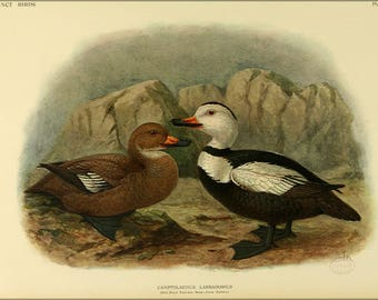 Poster, Many Sizes Available; Extinct Birds C1907; Labrador Duck
