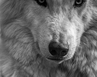 Wolf photography. Arctic wolf photo print. Nature wildlife photograph of white wolf snarl. Man cave wall decor. Wolf close up wall art decor