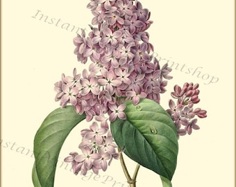 LILAC Redoute Vintage Botanical 8x10 digital download