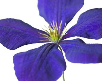 Purple Clematis bloom