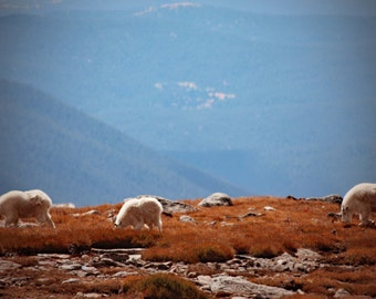 Mountain Goats, Mt Evans