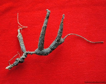 Wild American Ginseng Roots (6 g) #2015-13a. Superior, Dry, NC Certified, Xi Yang Shen Herbal Tonic