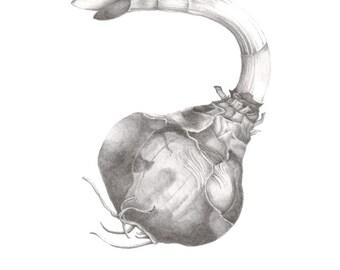 Narcissus Bulb Drawing