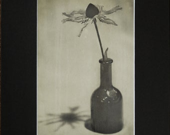 "Old Sunflower Photograph Print 5X7"" in an 8X10"" Black Mat"