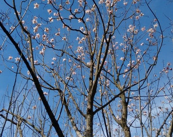 Blossom Photo Art - Tree Photography - Wall Art *SUPPLIED WITHOUT FRAME*