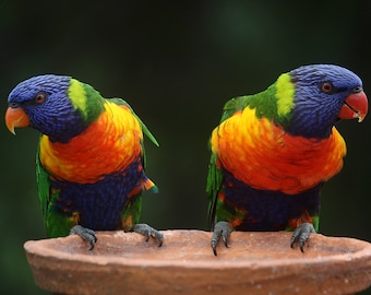 Rainbow Parakeets- Instant Download