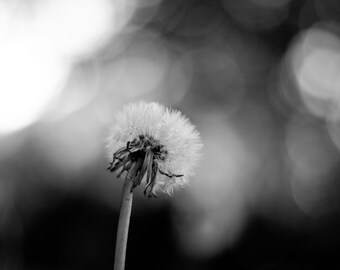 Make a Wish - Dandelion Flower Black and White Photography Print