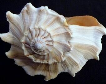 "Florida Whelk 7 - 8"" knobbed left hand welk seashell shells beach decor ocean theme wedding"