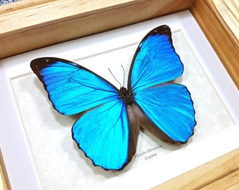 FREE SHIPPING Framed Menelaus Blue Morpho A1- Taxidermy #123