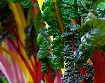 100+ Swiss Chard Seeds- Rainbow Mix