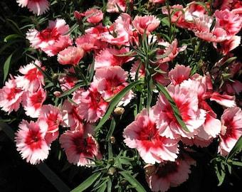 Dianthus Strawberry Parfait 5 Pint Plants FREE SHIPPING