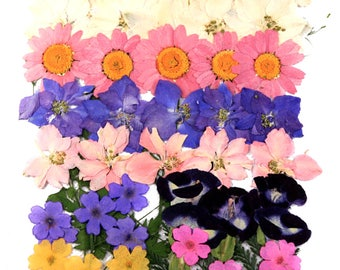 Pressed flowers mixed, larkspur marguerite verbena torenia foliage for floral art, craft, card making, scrapbooking