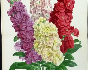 1885 Large Vintage BOTANICAL PRINT Giroflees Quarantaines  Linden Vintage Flower Home Decor Vintage Art Prints  Antique Botanical Print