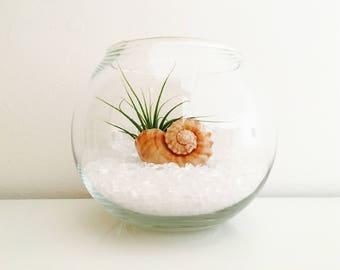 Air plant, terrarium, terrarium kit, tillandsia, vase