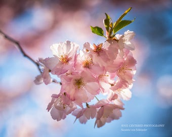 Flower Photography, Pink Cherry Blossoms, Fine Art Print, Pink Blue, Soft Delicate, Dreamy, Mother's Day, Healing Art, Heavenly, Home Decor