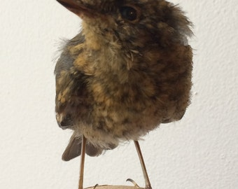 Cute ethically sourced taxidermy juvenile robin