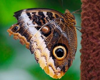 Eye of the Butterfly - 8x10 photograph - fine art print - nature - nursery art - tropical butterfly