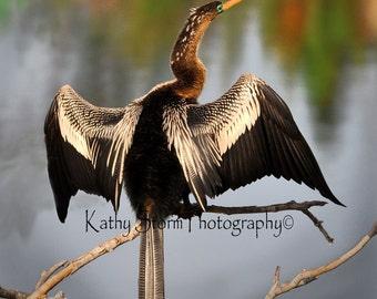 Anhinga, Florida birds, wildlife photography, Wall Art, home decor.  FREE SHIPPING!