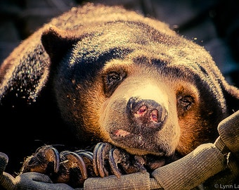 "Animal Photography - sun bear print nature photography brown and yellow 8x10 bear photo cute animal brown wall decor 5x7 11x14 - ""Bear Claws"
