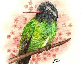 White - Eared Hummingbird