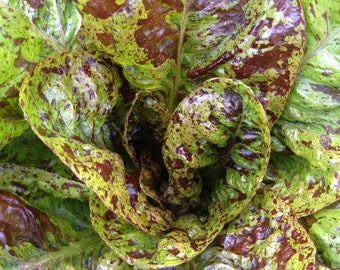 SALE! Freckles Romaine Lettuce Heirloom Excellent Sweet Flavor and Crisp Texture Rare Seeds Grown To Organic Standards