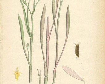 SEA ASTER - Botanical Book Page WIldflower Illustration Plant Drawing Plate 33