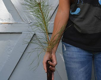 TreesAgain Austrian Pine Tree - Pinus nigra- 7 to 9+ inches