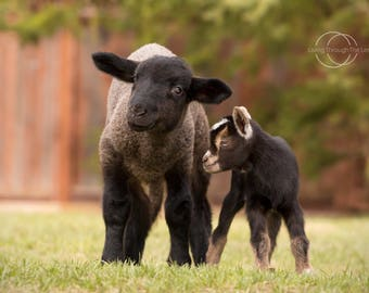 5x7 lamb and baby goat photography print
