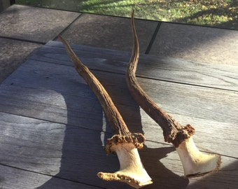 Set of 2 large Elk Antlers...price reduced