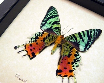 Dad's & Grad's Gift Best Seller For 18 Years Madagascar Sunset Moth Display 163v