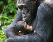 BABY CHIMP and MOM Photo ...