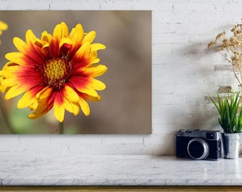 Butter Yellow and Crimson Red Coneflower / Cone Flower Photograph Prints up to 16x24, Postcards, Coffee Mug, Throw Pillow Mother's Day Gift