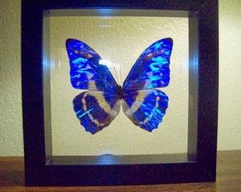 Morpho Cypris Butterfly