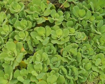 Aquatic Plants- Pistia stratiotes minima- Dwarf Water Lettuce- green floater- 25 plants-  Free Shipping
