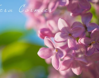 Nature photography - lilac flowers, spring photography, wall art Lilacs, flower photography, purple color flower blossoms, home decor