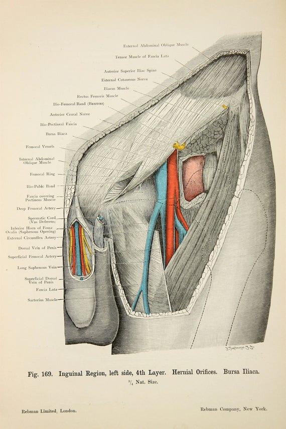 Oberschenkel Muskeln Arterien Venen Nerven c.1900