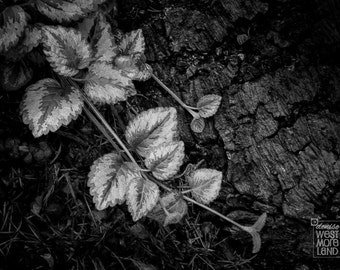 Black & White Photography, The Forest Floor, Garden Photography, Olympic Peninsula, Washington