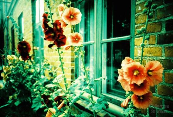 Coral Hollyhock Flowers