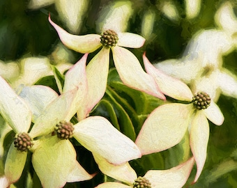 Spring Bloom Image, Flower Photography, Dogwood Blossoms Image, Fine Art Photography