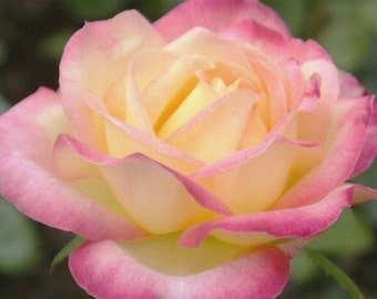YELLOW PINK ROSE -  photography, giclee print, flower photography, botanical garden, home decor, floral home decor