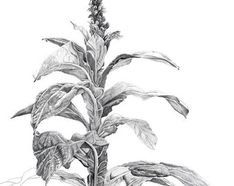 Mullein Pencil Drawing,  Digital image,  for homemade art, craft or writing including Internet publication
