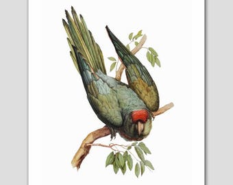 "Parakeet Art, Budgie Print (Bird Wall Decor, Green Parrot) -- ""Wagler's Parakeet"" 19th Century Artist"