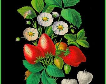 antique french strawberries botanical print illustration black background digital download