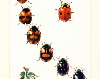 1960 Coccinelle. Illustration Insecte. Planche Identification Originale Entomologie.