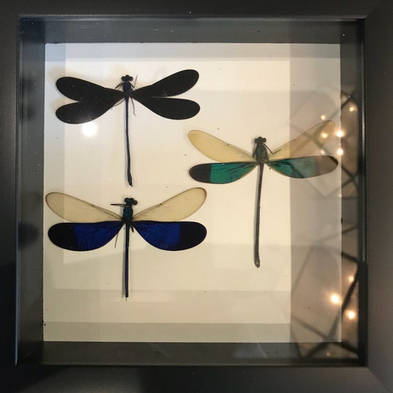 Real dragonfly taxidermy display!