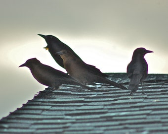 blackbirds on a roof