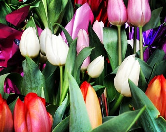 Colorful Tulips - Fine Art Photograph, Seattle, WA - 8x8