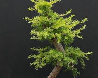Bonsai - GOLDEN LARCH  (Pseudolarix Amabilis) 5 seeds